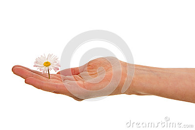 Woman's palm with white daisy blossom