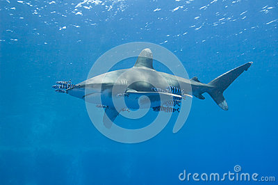 Oceanic white-tip shark in the sea