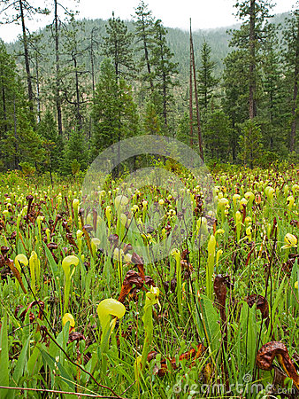 Insectivore Pitcher Plant