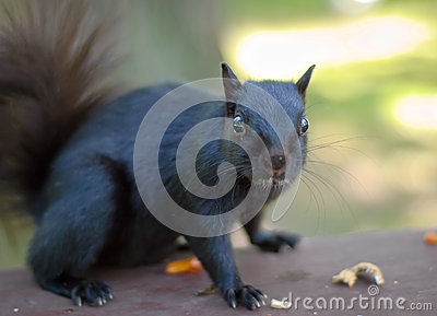 Black Squirrel on a picnic table in the park, Appears to say I didnt