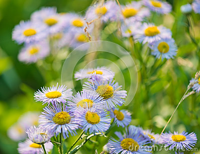 Wild blue asters