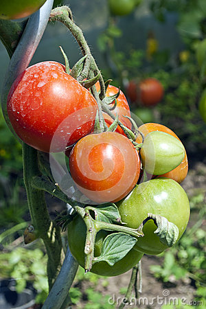 Biologic tomatoes in the garden