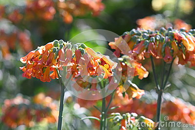 Orange Mother-of-millions flower