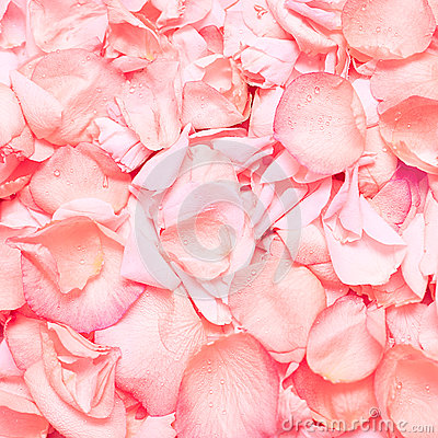 Pink rose petals, background