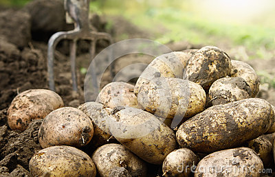 Potatoes in the field