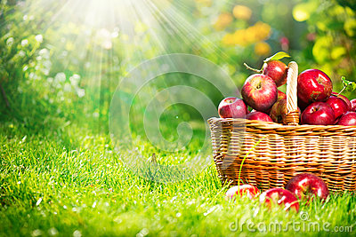 Organic Apples in the Basket. Orchard