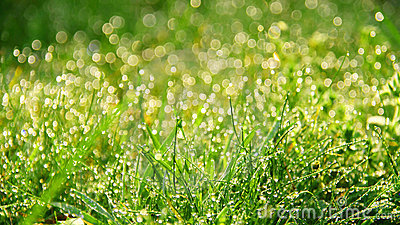 Fresh morning dew in grass