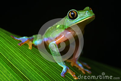 Tropical rainforest tree frog Agalychnis