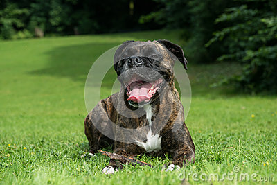Happy boxer dog resting on grass
