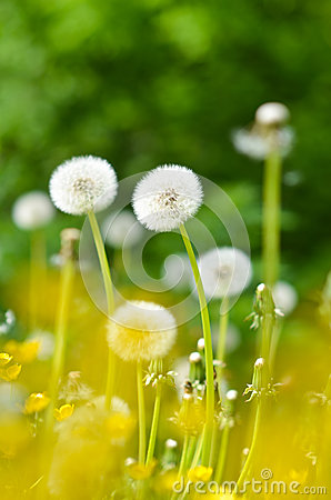 Dandelions, summer flowers