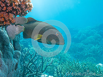 Blue-spot Coral Trout Great Barrier Reef Australia