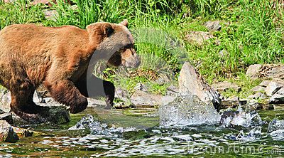 Alaska Brown Grizzly Bear Fishing for Salmon