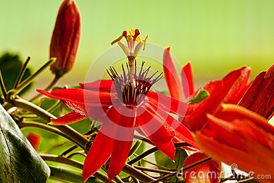 Red Passion Flower