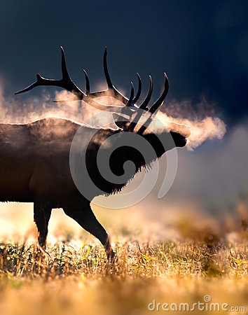 Frosty male bull elk