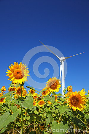 Sunflower field with windmill