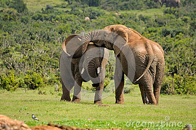 Two Elephants fighting, Addo Elephant National park, South Afric