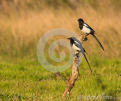 A couple of Magpies