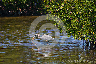 Blue Heron Catches Mangrove Snake