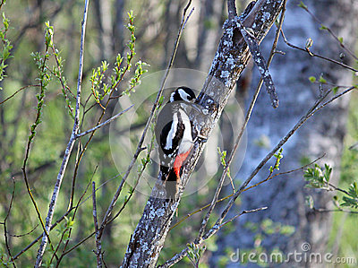 Great spotted woodpecker in willow thicket