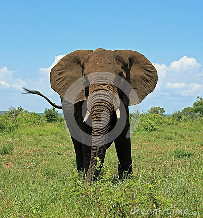 Elephant at Kruger National Park South Africa