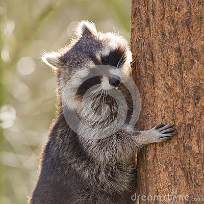 Curious racoon is climbing a tree