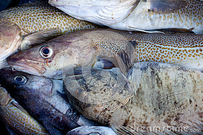 Whisker Catfish and cod