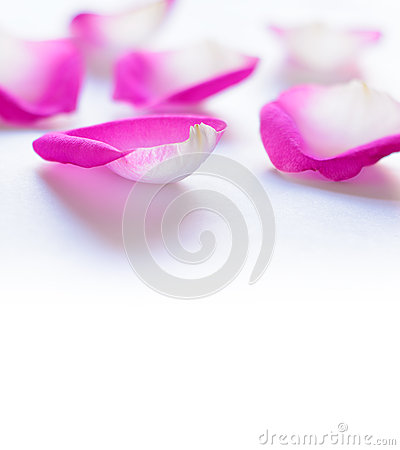 Beautiful Pink Rose Petals on the White Background