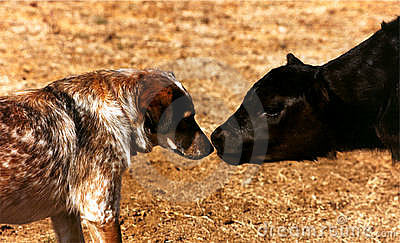 Calf Meets Dog
