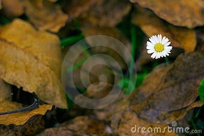 Lawndaisy and Dead Leaves