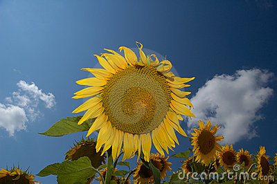 Sunflower Farm I