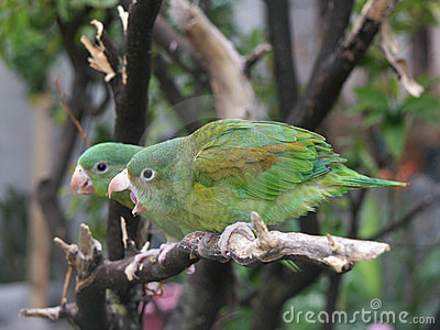 Orange-chinned Parakeet couple