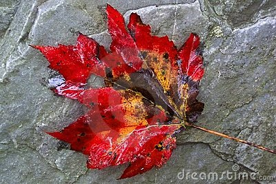 Giant Maple Leaf