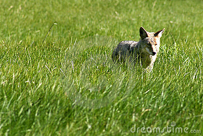 Coyote Hunter
