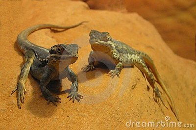 Lizards on a Rock