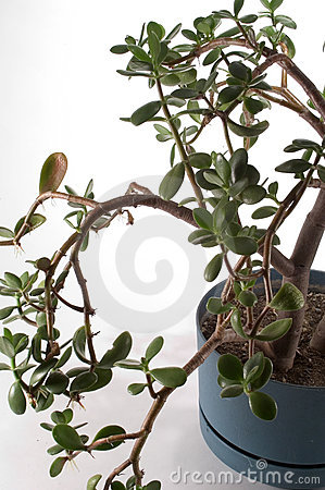 Jade Plant in Pot
