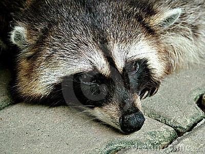 Racoon resting