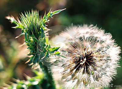 Thistle and dandelion