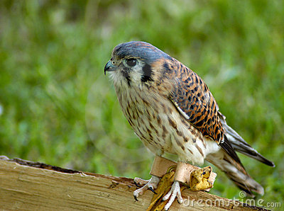 Bird of Prey - Kestrel