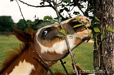 Paint Foal Eating Leaves