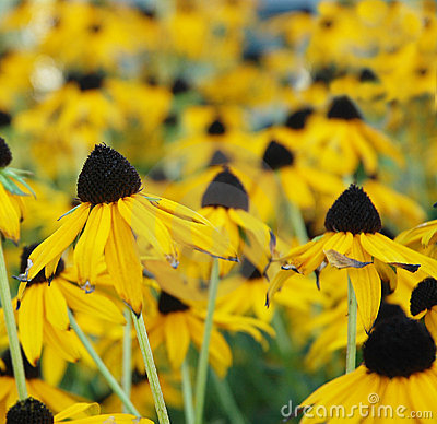 Black-Eyed Susan field