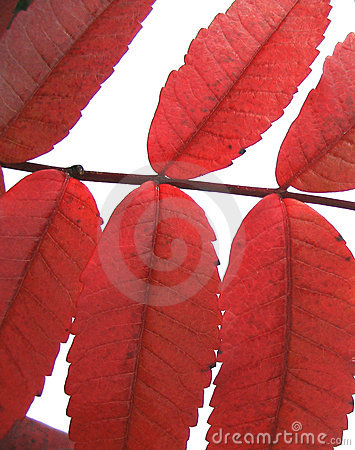 Fall red leaves -isolated