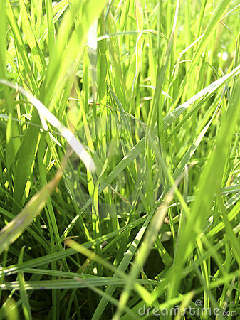 Fresh summer grass