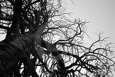 Giant Stark Tree in Black and White