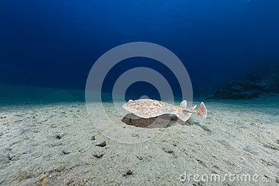 Leopard torpedo ray (torpedo panthera) in the Red Sea.
