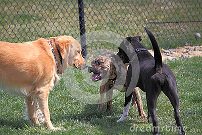 Dogs Playing in Dog Park