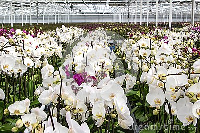 Nursery of white orchids overview