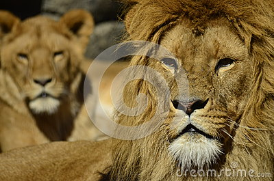 Portrait of a lions