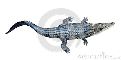 Top view of Saltwater crocodile
