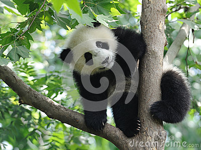Baby Panda on the tree