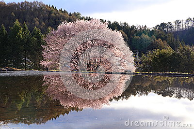 Cherry tree reflection in water